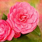 Before & After: Painterly Camellia