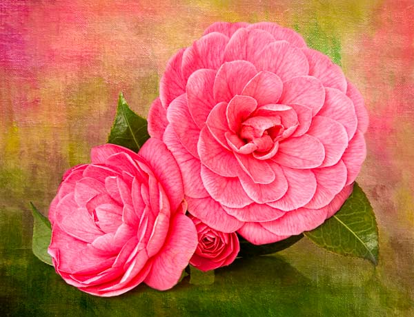 Camellia with texture