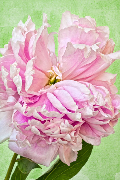 Peony with watercolor texture.