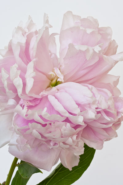 Peony image before texture