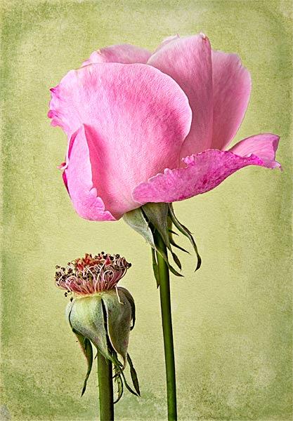 Original Rose Image