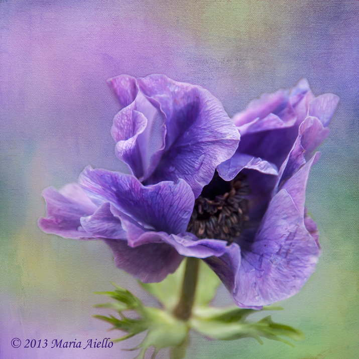 Purple Anemone by Maria Aiello