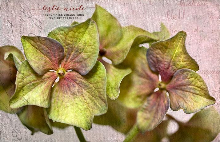 Hortensia Petals