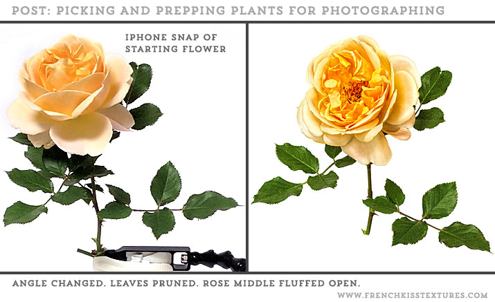 Rose pruning and angle