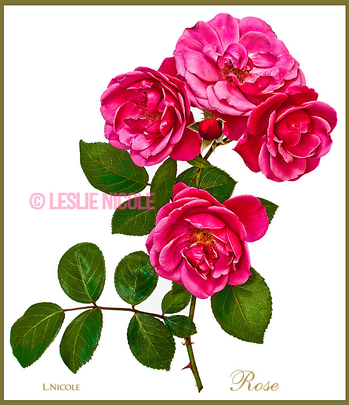 Botanical rose photo illustration.