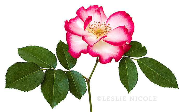 Betty Boop rose photograph by Leslie Nicole.